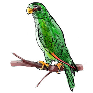 Papagei (Amazona Ventralis), Illustrationen