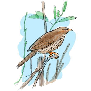 Cigua Palmera, der dominikanische Nationalvogel, Illustrationen